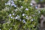 "Flowering ""Prostratus"" Rosemary"