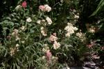 Flowering Shrub at the Sacramento Zoo