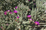 Flowering Tree Cholla