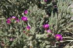 Flowering Tree Cholla