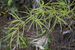 Flowerless Palm Branches