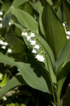 Flowers and Leaves of a Lily of the Valley Plant