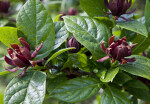 Flowers and Leaves of a Sweetshrub