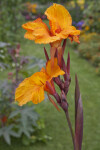 """En Avant"" Canna Lily Flowers and Stem"