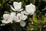 Magnolia Flowers at Arlington