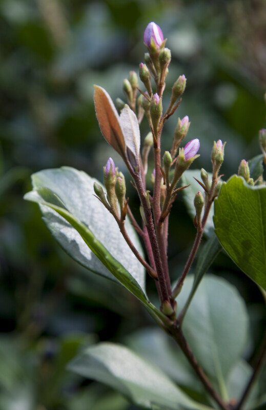 Flowers Emerging from Buds Connected to Red-Brown Stems
