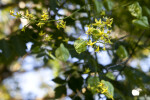 Flowers Extending from the Branches of a Goldenrain Tree