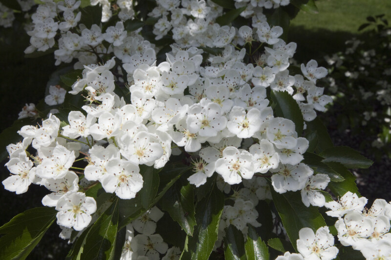 Flowers of a Glossy Hawthorn Tree