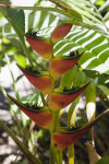 Flowers of a Heliconia orthotricha