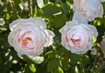 Flowers of a 'Tamora' Rose