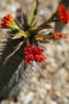 Flowers of Euphorbia viguieri var. viguieri