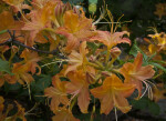 Azalea Flowers with Long Filaments and Styles