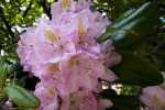 Rhododendron Flowers with Long Styles