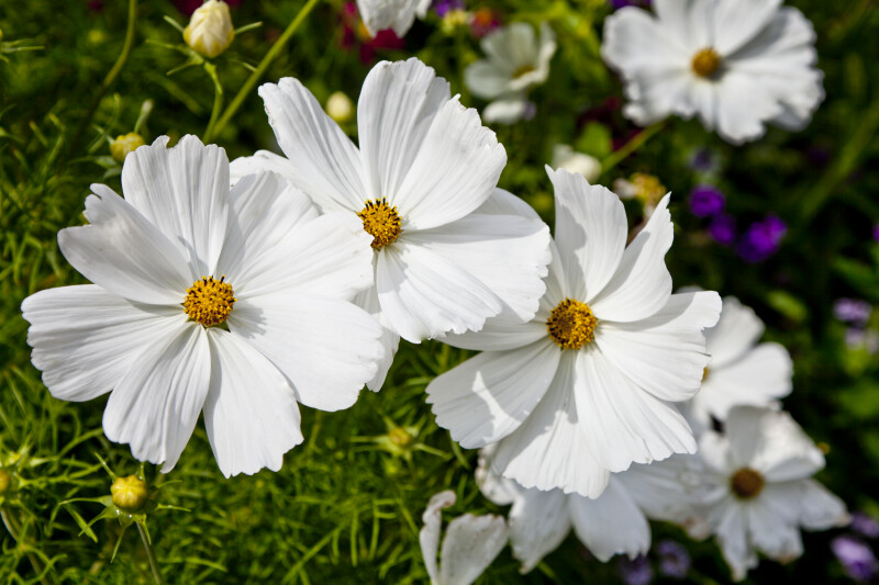 Flowers With White Petals Clippix Etc Educational Photos For
