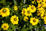 Flowers with Yellow Petals