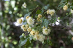 Fluffy Blackbead Flowers