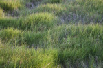 Fluffy Grass Growing at the Florida Campgrounds of Everglades National Park