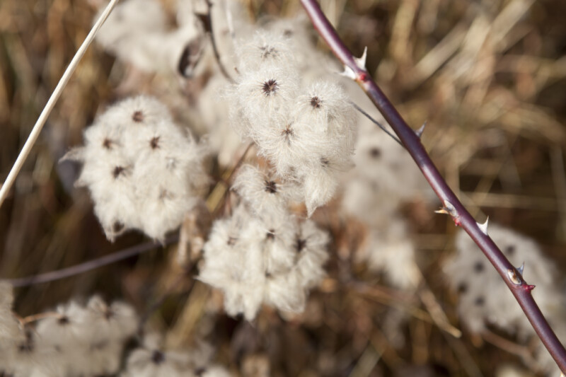 Fluffy White Flowers and Branch with Prickles