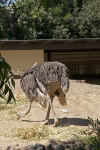 Foraging Ostrich at the Sacramento Zoo
