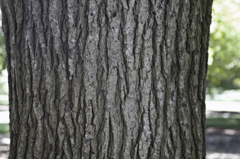 Formosan Sweetgum Bark