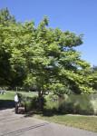 Formoson Flame Tree at the UC Davis Arboretum