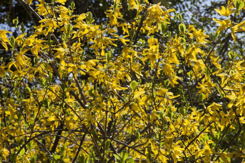 Forsythia Shrub with Bright Yellow, Four-Lobed Flowers