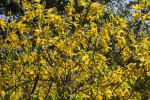 Forsythia Shrub with Bright Yellow, Four-Lobed Flowers