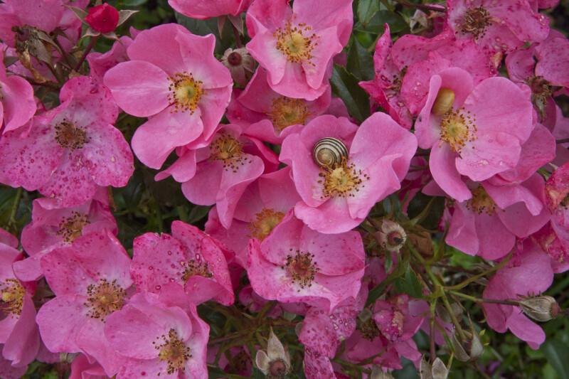 Fortuna Rose