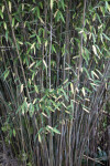 Fountain Bamboo