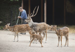 Four Chital at the Artis Royal Zoo