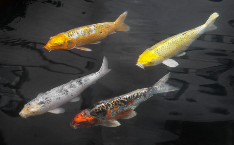 Four Different Colors of Koi Fish