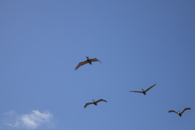 Four Flying Pelicans at Biscayne National Park