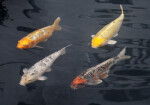 Four Koi in a Fountain Pool