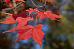 Four Red Maple Leaves of Different Sizes