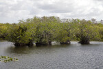 Four Trees Growing in Water at Anhinga Trail of Everglades National Park