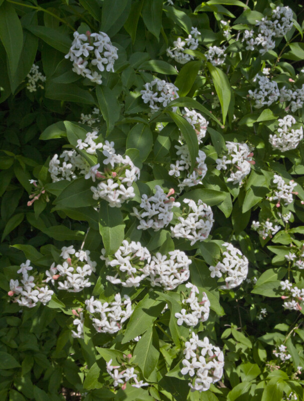 Fragrant Abelia at the Arnold Arboretum of Harvard University