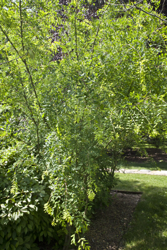 Franchet Peashrub at the Arnold Arboretum of Harvard University