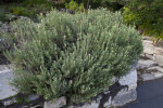 French Lavender Growing From Rock Wall