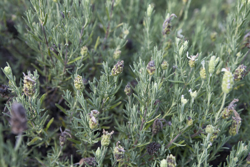 French Lavender Leaves and Buds
