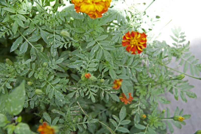 Are these marigolds? The flowers are white if you can't ...
