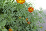 French Marigold Leaves