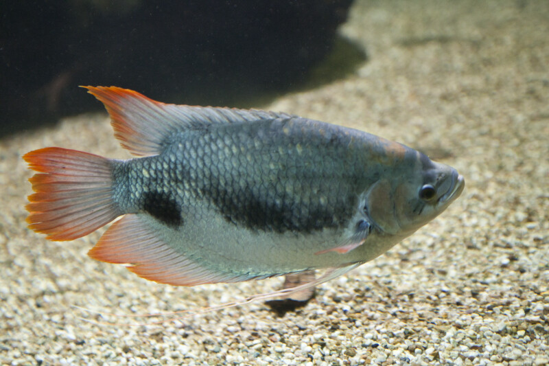 freshwater fish (Dec 31 2012 23:59:55) ~ Picture Gallery