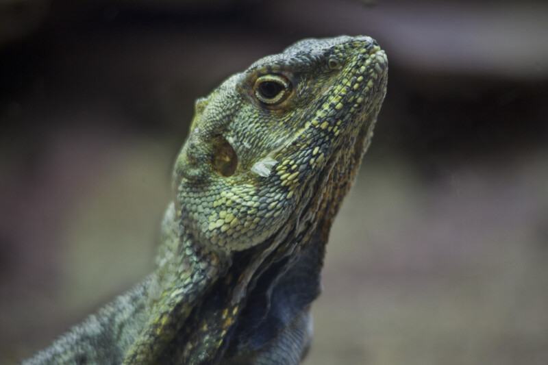 Frill-Necked Lizard Close-Up