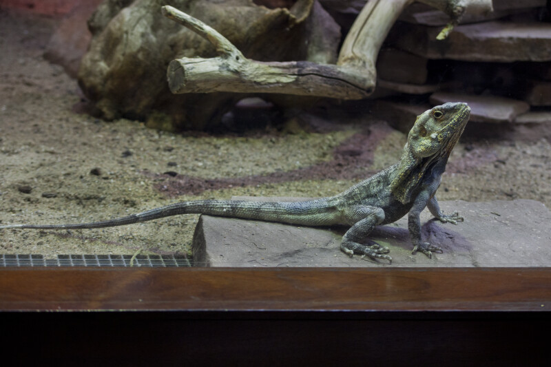 Frill-Necked Lizard in its Enclosure at the Artis Royal Zoo