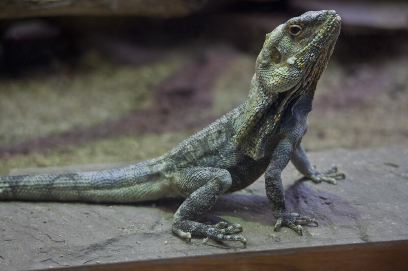 Frill-Necked Lizard Near the Glass of its Tank