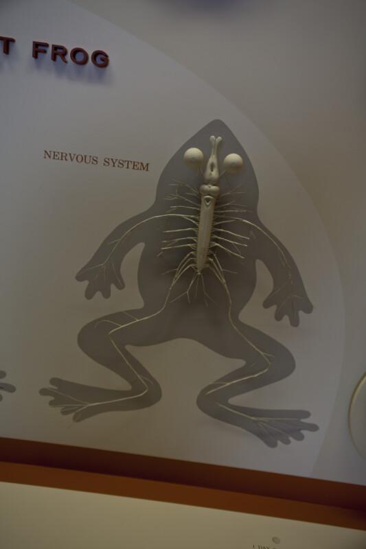 Frog's Nervous System