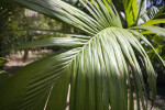 Frond of a Nicobar Palm