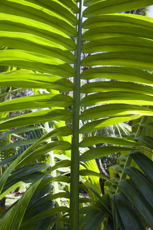 Frond of a Palm (Neoveitchia storckii )