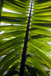 Frond of an Amargo Palm