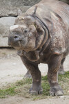 Front Left Side of Indian Rhinoceros